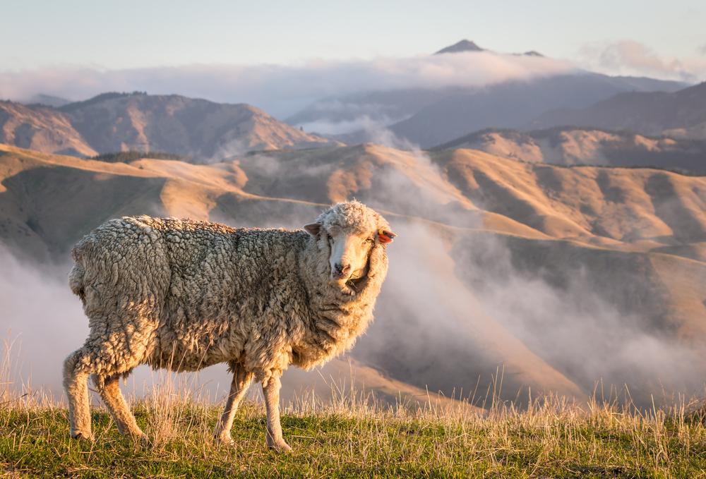 merino sheep standing on hill